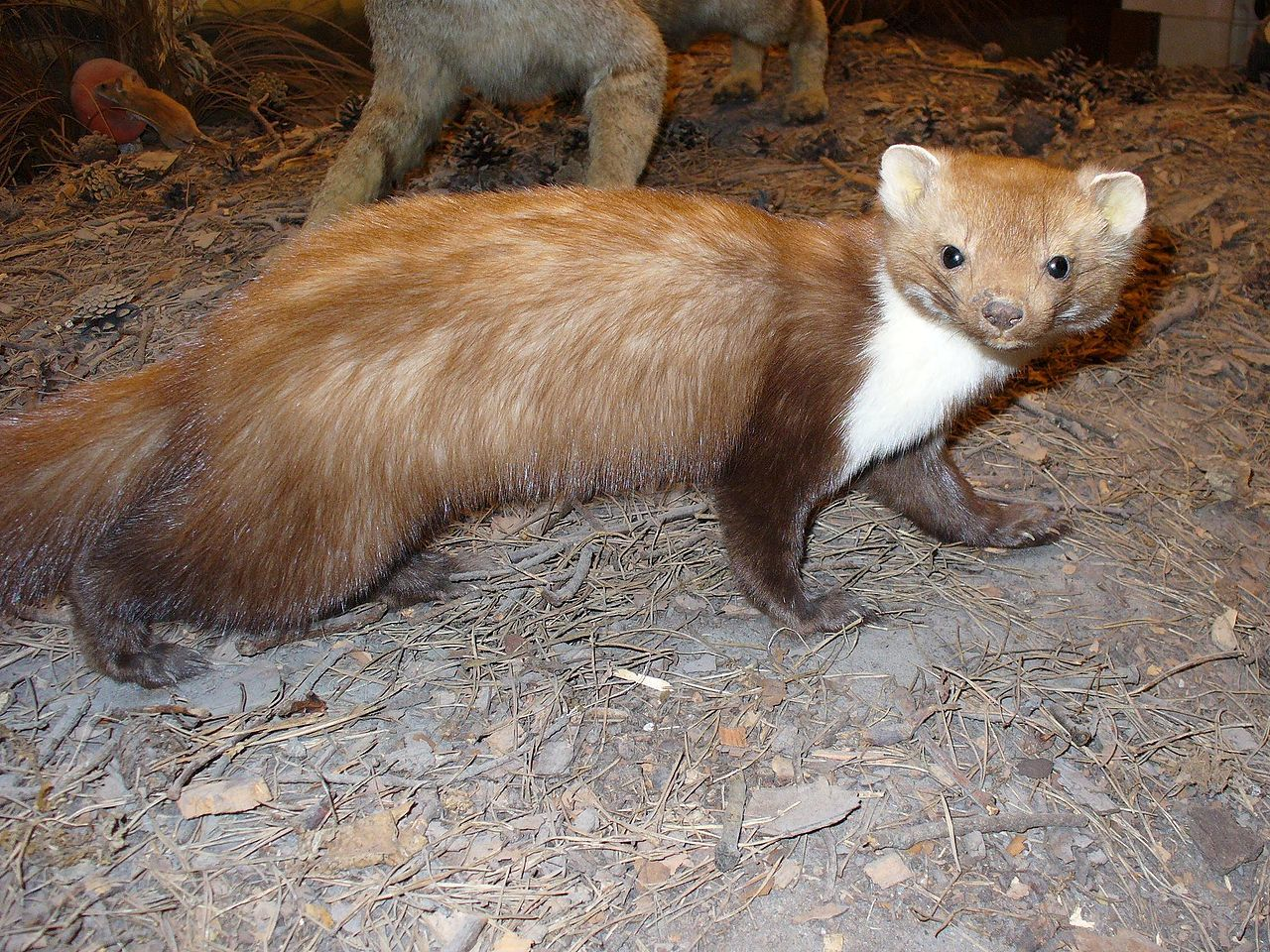 Large Hadron Collider Brought Down by Small Beech Marten